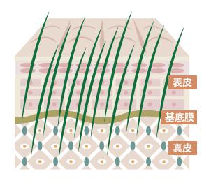 表皮と基底膜、真皮の図