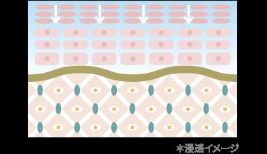 角質層の浸透イメージ
